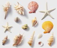 貝がら素材