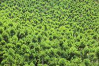 北山杉の樹林