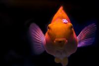 金魚 ふくれっ面