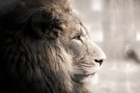 ライオン 10850000386| 写真素材・ストックフォト・画像・イラスト素材|アマナイメージズ