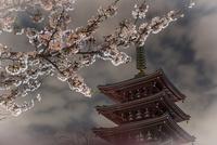 浅草寺 五重塔と桜