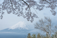 新倉山浅間公園 桜と富士山 10850000595| 写真素材・ストックフォト・画像・イラスト素材|アマナイメージズ