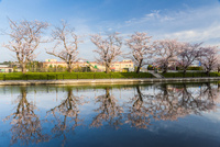 桜並木と映り込み