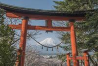 新倉山浅間公園 桜と富士山と鳥居