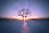 夕日とハルニレの木