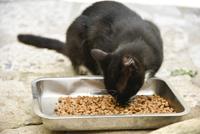 餌を食べる黒ネコ