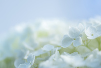 紫陽花(あじさい)の青い花