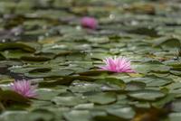 水面に映り込むスイレンの花