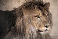ライオン 10869000032| 写真素材・ストックフォト・画像・イラスト素材|アマナイメージズ
