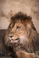 ライオン 10869000033| 写真素材・ストックフォト・画像・イラスト素材|アマナイメージズ