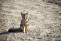 パタゴニアの動物:ハイイロギツネ(狐) 10873000019| 写真素材・ストックフォト・画像・イラスト素材|アマナイメージズ