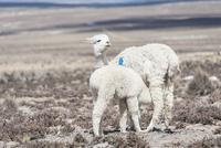 アンデス高原のアルパカの授乳