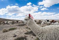 アンデス高原のアルパカの群れ