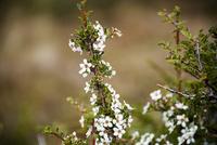 パタゴニアの花:エスカロニア・ビルガータ