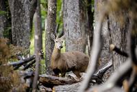 パタゴニアの絶滅危惧種:ウエムル鹿