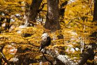 パタゴニアの鳥:カランチョの求愛ポーズ