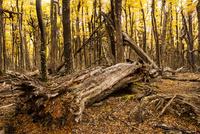 パタゴニアの植物:南極ブナの倒木