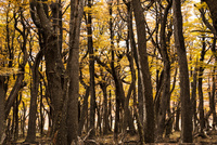 パタゴニアの植物:秋の南極ブナの森