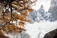 パタゴニアの植物:秋の紅葉に染まる南極ブナとフィッツロイ峰