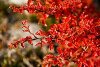 パタゴニアの植物:秋の紅葉に染まる南極ブナの葉