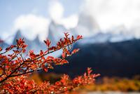 秋のパタゴニア:紅葉に染まる南極ブナとフィッツロイ峰