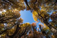 秋のパタゴニア:南極ブナの倒木から見上げた樹冠