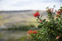 パタゴニアの植物:ノトロの花