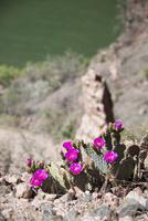 グランドキャニオンのサボテンの花 10873000187| 写真素材・ストックフォト・画像・イラスト素材|アマナイメージズ