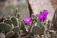 グランドキャニオンのサボテンの花 10873000191| 写真素材・ストックフォト・画像・イラスト素材|アマナイメージズ