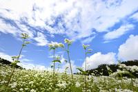 青空白雲のそばの花