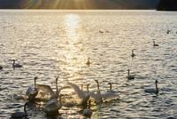 夜明けの猪苗代湖の白鳥