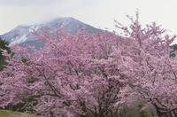 八重桜咲く磐梯山