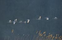 夜明けの白鳥の飛翔