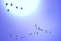 白鳥の群れ飛ぶ青