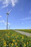 布引高原の青空と風車とひまわり畑