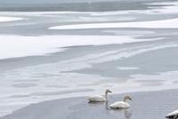 雪氷文様に泳ぐ猪苗代湖の白鳥