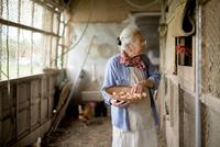 鶏の卵を穫るシニア女性