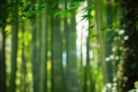 鎌倉報国寺の竹林
