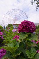 青海パレットタウンの観覧車をバックに咲く紫陽花