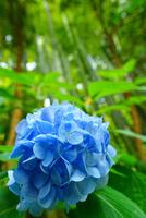 鎌倉報国寺に咲く紫陽花と竹林
