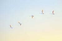 一列になって飛ぶ白鳥
