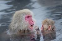 温泉につかるニホンザル 10899000142| 写真素材・ストックフォト・画像・イラスト素材|アマナイメージズ