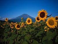 富士山とひまわり 11000007494| 写真素材・ストックフォト・画像・イラスト素材|アマナイメージズ