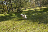 フリスビーを追いかける犬