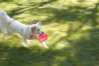 フリスビーを咥えて走る犬