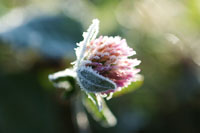 Frost-covered clover