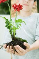 Boy holding gerbera daisies