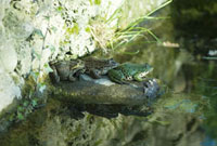 Natterjack toads sitting on rock by pond
