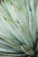 Agave plant, close-up