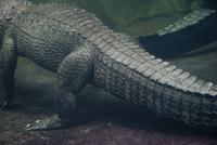 Underwater view of alligator, cropped